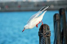 seagull,