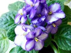 African Violet.  My Granny grew these on her south window and inspired me to have one as well.