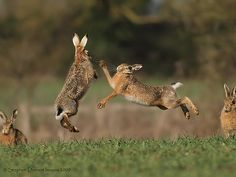 boxing hares   Boxing Hares