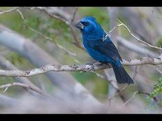 Azulão pássaros canto muito lindo