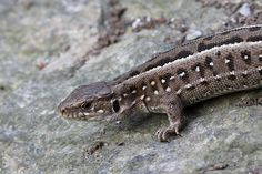 Eric Litvin presents the Wikipedia picture of the day on December Sand lizard female (Lacerta agilis). Image Of The Day, Daily Pictures, Cool Photos, Female, Pets, December, Animals, Ukraine, Lizards