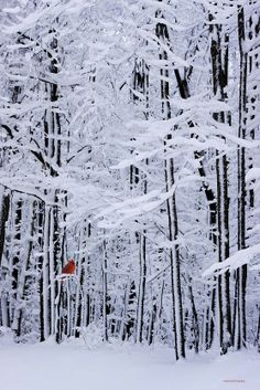 White Snowy Woods with just a hint of color   Beautiful #wnter shot!   Ali Kandemir - Google+