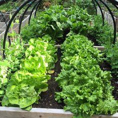 Behold our lettuce-pire! #gardening #homegrown #vegetables #westcoastliving