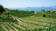 La #viticoltura, grande eccellenza dei #CampiFlegrei. Nel blog del #Campeggio #Solfatara: http://www.campeggiovulcanosolfatara.it/it/news-eventi/blog-campeggio-napoli/285-viticoltura-campi-flegrei.html