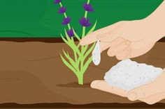How to Grow Lavender. Easy to grow and easy to appreciate, lavender (Lavandula) is a welcome addition to any garden, with its beautiful flowers and wonderful aroma. All you need to grow and maintain this fragrant flowering herb is a. Lavender Crafts, Growing Lavender, Garden Art, Garden Ideas, Garden Landscaping, Beautiful Flowers, Herbs, Gardening, Planting