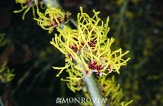 Monrovia's Pallida Chinese Witch Hazel details and information. Learn more about Monrovia plants and best practices for best possible plant performance.