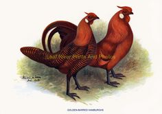 new to site GOLDEN-BARRED HAMBURGHS
