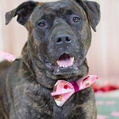 Philadelphia, Pennsylvania - American Pit Bull Terrier. Meet Mermaid, a for adoption. https://www.adoptapet.com/pet/19566710-philadelphia-pennsylvania-american-pit-bull-terrier-mix