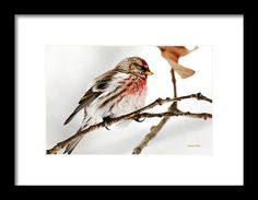 Winter Redpoll Framed Print by Christina Rollo.  All framed prints are professionally printed, framed, assembled, and shipped within 3 - 4 business days and delivered ready-to-hang on your wall. Choose from multiple print sizes and hundreds of frame and mat options.