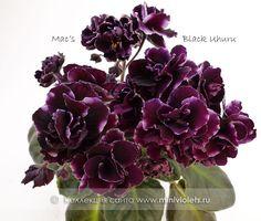 Mac's Black Uhuru (G.McDonald)  Крупные черно-пурпурные густомахровые цветы с тонкой немного волнистой белой каймой, настоящие букеты на крепких цветоносах! Листва крепкая темно-зеленая, стеганая. Полуминиатюра.