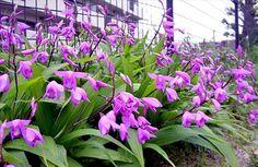 Cây bạch cập có tên khoa học: Bletilla hyacinthina R. Br. = Bletilla striata (Thunb.) Reichb.f. 2. Họ: Lan (Orchidaceae). 3. Tên khác: Liên cập thảo 4. Mô tả: Cây: Cây thảo sống lâu năm, cao độ  0,9m, rễ phình lên thành củ, lá mọc từ rễ lên chừng 3 đến 5 lá hình mác dài từ 18-40cm, rộng 5cm, hè màu đỏ ...