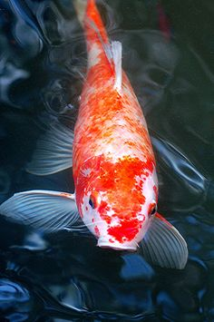It's morning and my friendly Koi is waiting to be fed! by jungle mama, via Flickr