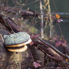 Fomes fomentarius. See Picture, Fungi, Stuffed Mushrooms, Photographs, Coconut, Canning, Fruit, Food, Stuff Mushrooms