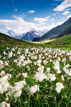 Switerland - Belalp: Cotton Fields