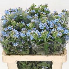 <p> OXYPETALUM COERULEUM 50cm is a beautiful Blue seasonal cut flower - wholesaled in Batches of 10 stems.</p>