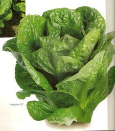 Amadeus is a Cos / romaine lettuce with a uniform, upright frame. The head is well closed and uniform in shape that makes more leaves than comparable varieties. Resistant to BL 21 and Lettuce Seeds, Edible Plants, Maturity, Cos, Agriculture, Leaves, Shape, Life