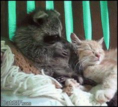 Cat And Raccoon | Funny GIFs and Animated GIFs - DatGIF