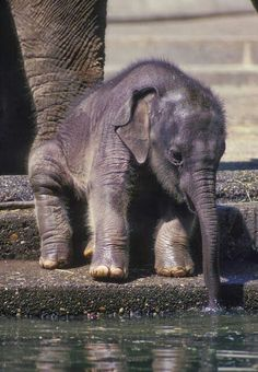 Time for a Little Sip, baby elephant, bebe elefante Cute Creatures, Beautiful Creatures, Animals Beautiful, Cute Baby Animals, Animals And Pets, Funny Animals, Wild Animals, Large Animals, Funny Cats
