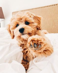 Cavapoo puppies: information, characteristics, facts, videos - DOGBEAST art breeds cutest funny training bilder lustig welpen Cute Dogs Breeds, Cute Dogs And Puppies, Doggies, Small Puppies, Puppies Puppies, Cutest Dogs, Adorable Puppies, Cute Small Dogs, Cute Animals Puppies