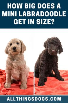 Even though the breed is called a Miniature, the Miniature Labradoodle's size can range between a Miniature Poodle and a Labrador. The size of a Mini Poodle is around 10-15lb and it stands up to 10-15 inches, while the Labrador can weigh around 55-80lb and it stands up to around 23 inches.  #minilabradoodlesize #minilabradoodle #labradoodleminiature Miniature Labradoodle, Miniature Dog Breeds, Mini Poodles, Cute Dogs Breeds, Dog Design, Dog Love, Labrador, Miniatures, Facts