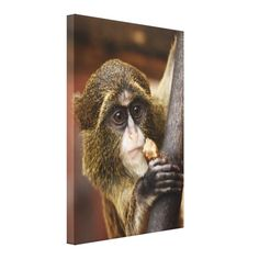 Young Debrazza's Monkey. Wonderful wildlife photo features a Young Debrazza's Monkey (Cercopithecus) in a closeup shot. Warm brown tones are dominant colors on Wrapped Canvas Print