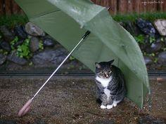 Kot, Parasolka