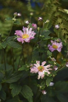 Anemone 'Pocahontas' is one of the plants nursery pros hope we'll grow.