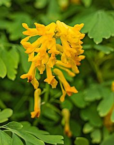 Yellow corydalis: There are so many positives about this low-maintenance plant, including that it can grow 1–3 feet in part sun or shade, is deer resistant, blooms spring through fall, attracts birds and has lush foliage.