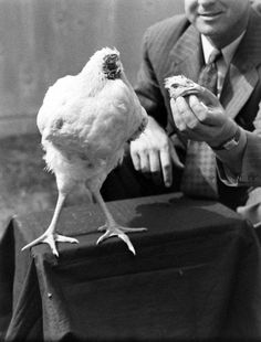 """In the 18 MONTHS that Mike lived as """"The Headless Wonder Chicken"""" he grew from a mere 2 1/2 lbs. to nearly 8 lbs. The owner said Mike was a """"robust chicken – a fine specimen of a chicken except for not having a head."""