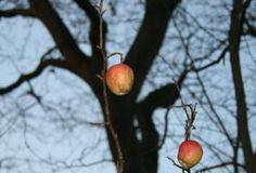 Jak roubovat ovocné stromy