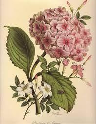 vintage botanical flower prints