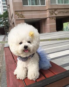 Pin for Later: This Bichon Has Way More Fabulous Hair Than We Could Ever Dream Of