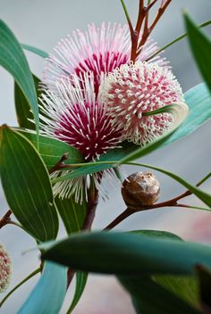The most commonly loved Australian native flowers include waratahs, banksias and gum blossoms, kangaroo paws and Christmas bush. Here, Horticulturalist Meredith Kirton reveals how to grow Australian natives in your own backyard. Australian Wildflowers, Australian Native Flowers, Australian Plants, Australian Bush, Exotic Flowers, Beautiful Flowers, Purple Flowers, Spring Flowers, Orchid Flowers