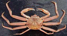 Opilio Crab - Gold of the Bering Sea