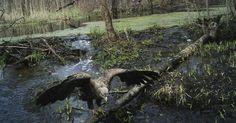 Esta ave de rapina foi fotografada em abril de 2012 em uma área próxima a Chernobyl, quase 30 anos após a região ter sido abandonada. A explosão de um dos reatores nucleares ocorreu em abril 1986 e um estudo publicado na revista Currently Biology mostra que o número de animais silvestres está crescendo na região