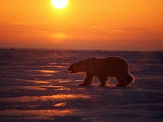 2. This lone polar bear traveling at sunset in the arctic further shows the idea that arctic is an empty waste land untouched by human hands