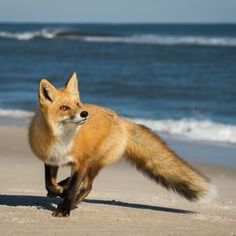 Red Fox by Mark Boyd - National Geographic Your Shot