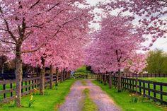 Pink Dogwoods :)