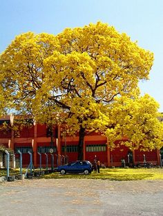 When the yellow tabebuia's are in bloom, it's one of the most beautiful sights!