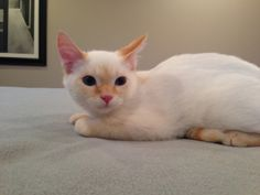 Flame is an adoptable Domestic Short Hair Cat in Manhattan, KS. My name is Flame, and I am about 10 weeks old.  I am a super sweet Flame Point Siamese male kitten, who is full of love and purrs.  I ca...