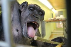 One of our chimps, licking some juice of a bamboo stick! Photo: Sophie Lönnberg, caregiver