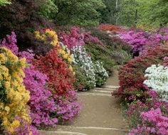 A view of the Azalea Steps at Winkworth Arboretum in Surrey with brightly coloured plants either sie of the path
