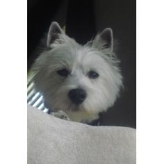 Dallas (West Highland White Terrier) - Male - Doggyspace.com