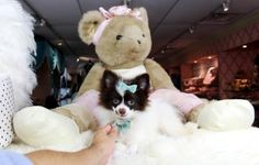 Teacup pomeranian puppies for sale! We ship, very safe! Easy financing available!!! visit our website teacuppuppiesstore.com or call 954-353-7864.
