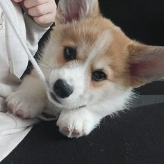 I love playing with my best friends hoodie!... My Best Friend, Best Friends, Pembroke Welsh Corgi, I Am Awesome, Hoodie, Dogs, Animals, Bestfriends, Cowl Neck Hoodie