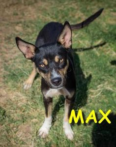 Max is a 10-month old shepherd mix with beautiful markings. He came into the shelter with his brother Oreo (same litter) but they do not need to be adopted together. Max is certainly the submissive of the two – he will probably gain a few pounds...