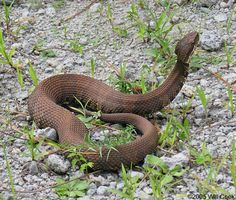 """""""Cotton Mouth (Water Moccasin) common to TX"""" Yeah, I remember my first encounter with one of these guys...I screamed like a banshee."""