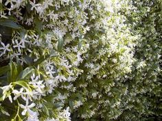 Privacy hedge/fence: Evergreen, grows fast, grows tall AND produces fragrant flowers Privacy Hedge, Privacy Plants, Beautiful Gardens, Beautiful Flowers, White Flowers, Star Jasmine Vine, Evergreen Vines, Jasmine Plant, How To Grow Taller