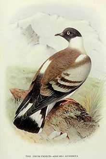 Snow Pigeon - Pictures and facts Engraving Illustration, Bird Illustration, Nature Prints, Bird Prints, Pigeon Pictures, Audubon Prints, Gravure Illustration, Moving Wallpapers, Engraving Printing