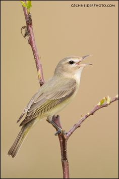 The Warbling Vireo (Vireo gilvus) is a small North American songbird.